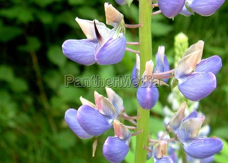 flor planta violeta tremoco floresta lupinus