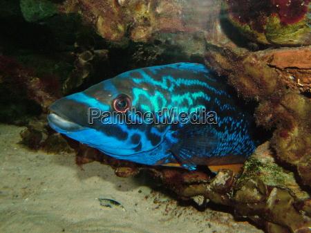 azul cueva acuario pescado ojo organo