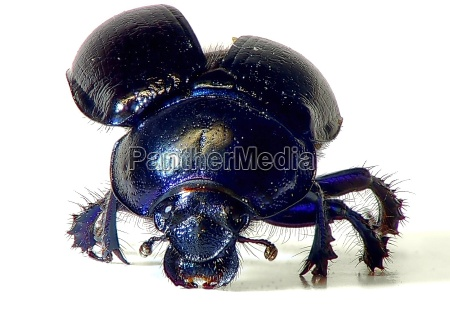 dung beetle is attacking