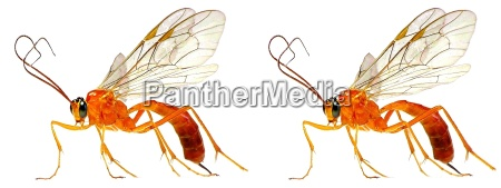 sickle wasp 3d cross eyed