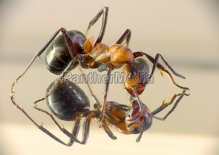 ant in the mirror
