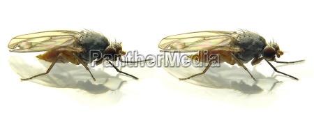 fruit fly 3d cross eyed