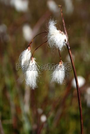 feuchtwiese sumpfwiese kroendlhorn schmalblaettriges wollgras eriophorum