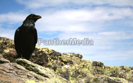 kolkrabe corvus corax