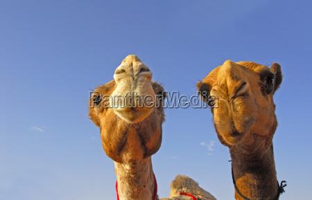 taburete desierto camello tradicion este arabia