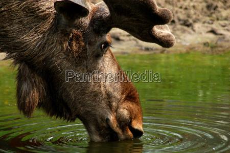 alg moose