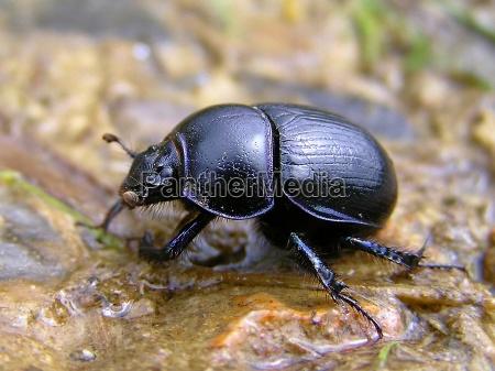 escarabajos del estiercol comun