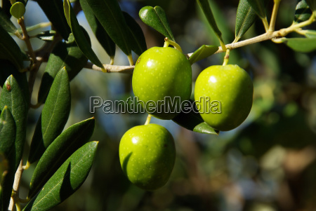 olive 35