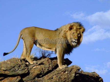 el rey de las bestias
