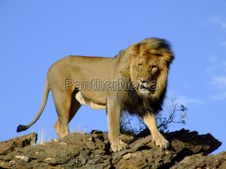 africa namibia leon gato depredador