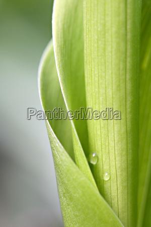 folha close up primavera abstrato lirio