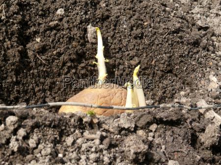 agricultura batata germinando pflanzkartoffel pflanzkartoffeln vorgekeimte