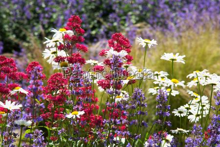 flor planta verao margarida prado