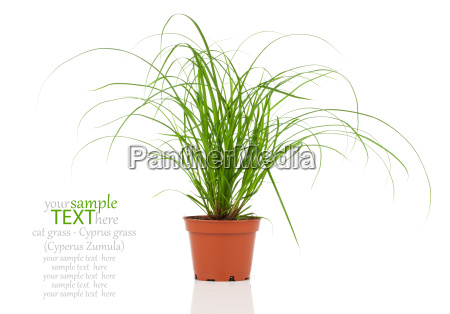 plantas da grama do gato