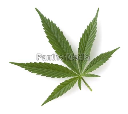 hanfcannabissativahanfblaetter