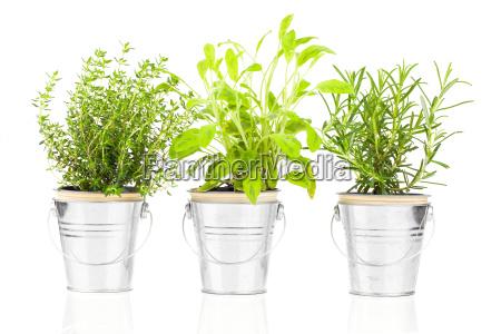 salviatomilho e alecrim planta erva que