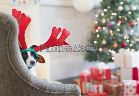 portrait dog wearing reindeer antlers near