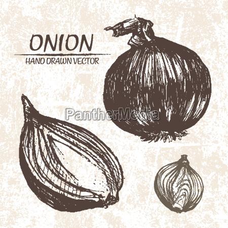 digital vector detailed onion hand drawn