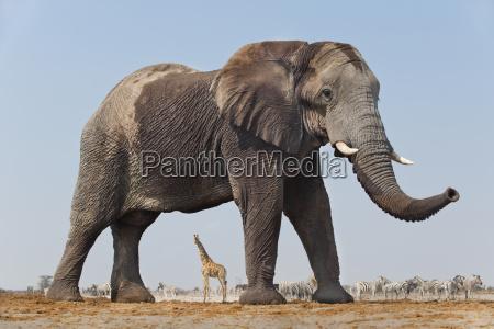 elephant bull loxodonta africana etosha national