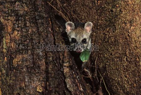 malayan civet viverra tangalunga danum valley