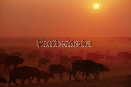 cape buffalo herd at sunset syncerus