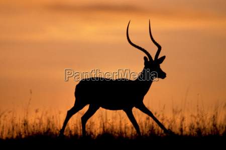 impala buck aepyceros melampus masai mara