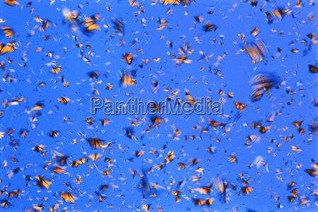 monarch butterflies in flight danaus plexippus