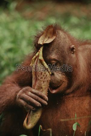 bornean orangutan pongo pygmaeus drinking from