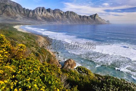 common tickberry along coastline chrysanthemoides monilifera