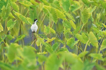 hawaiian stilt in taro pond himantopus