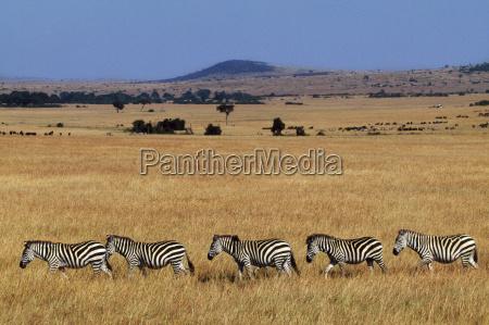 zebras crossing grasslands equus quagga masai