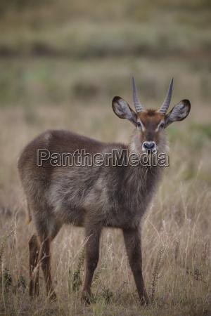 waterbuck kobus ellipsiprymnus arusha national park